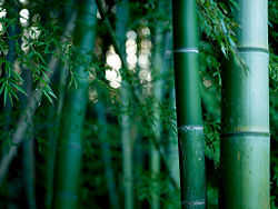 Did you know? Oil and bamboos